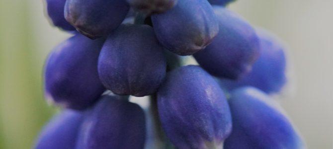 Ode aan een blauw druifje