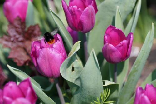hommel op de tulpen