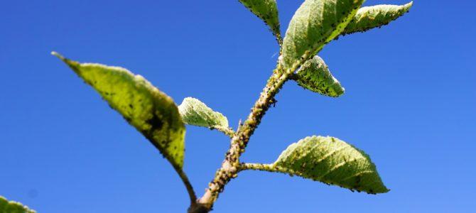 Bladluis op de fruitbomen