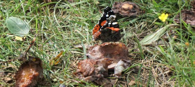 Hoe lok ik vlinders naar mijn tuin?
