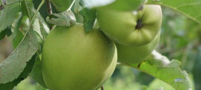 Wanneer kan ik de appels en peren plukken?