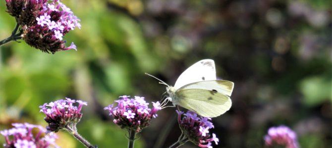 Vlinders en andere beestjes in de tuin