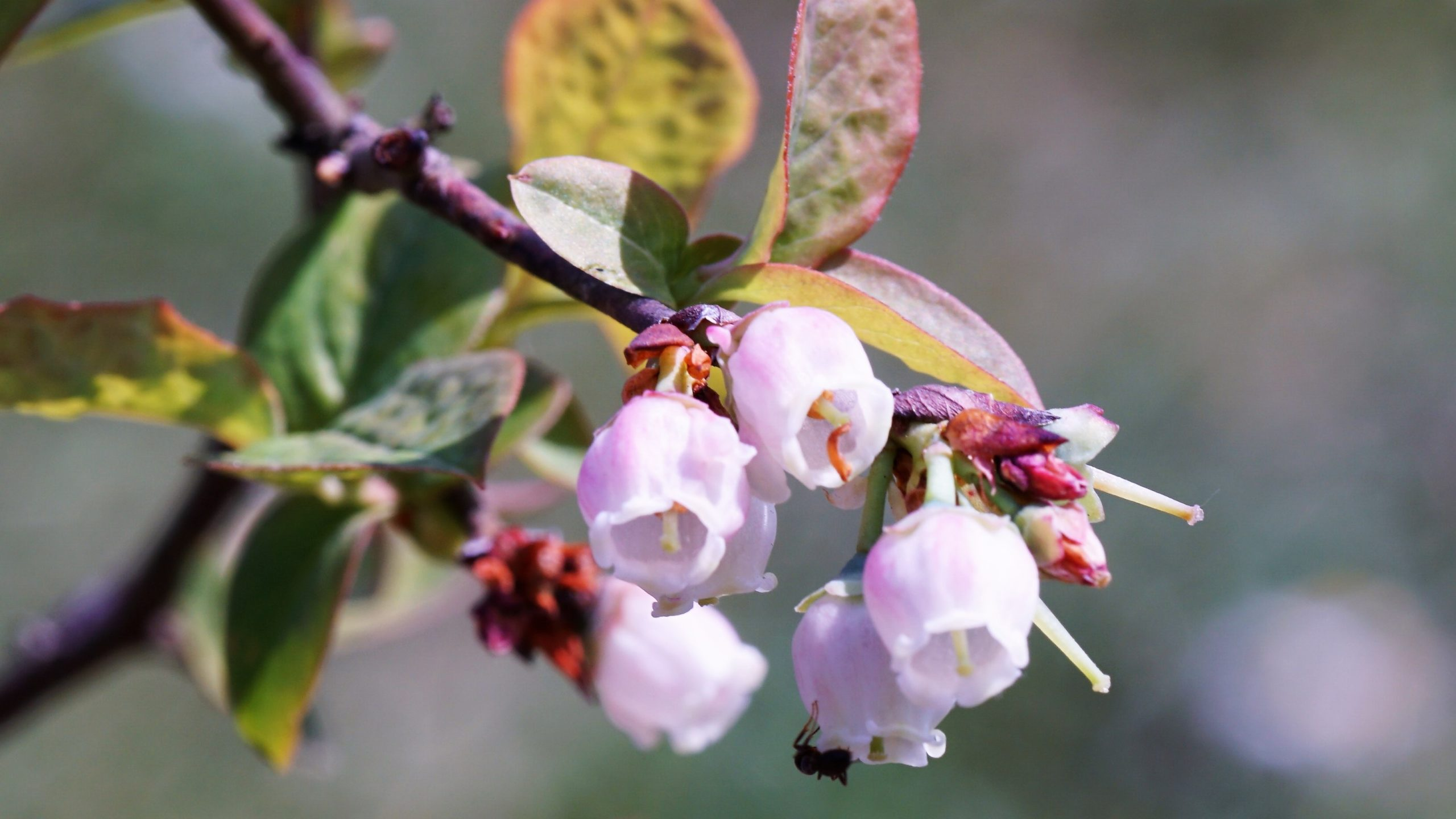 De bloesem-bollenroute in eigen tuin