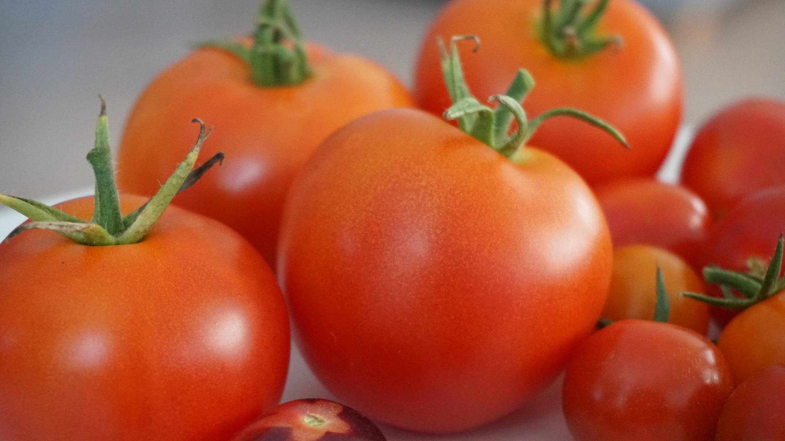 Tomaten oogst