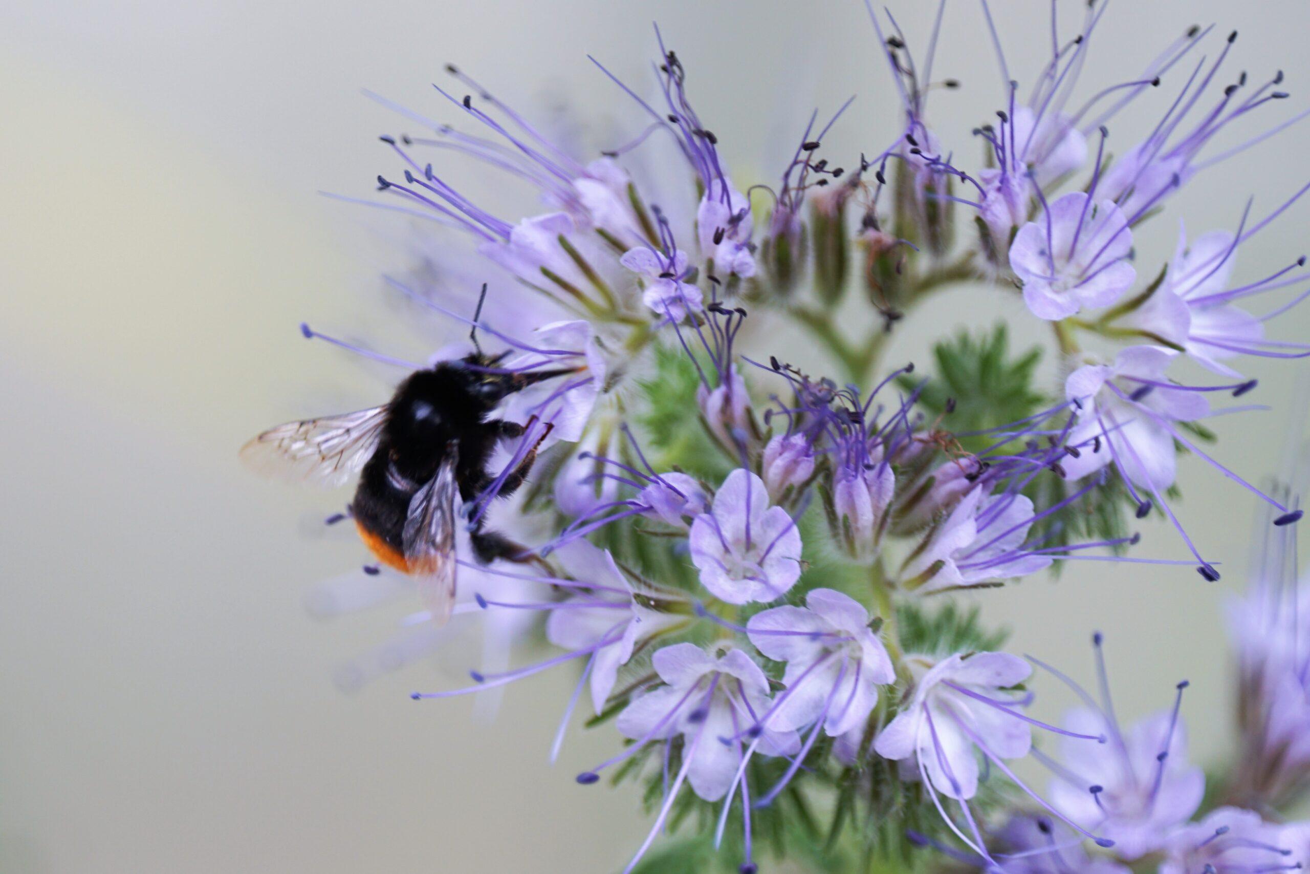 Bijenplant: de phacelia