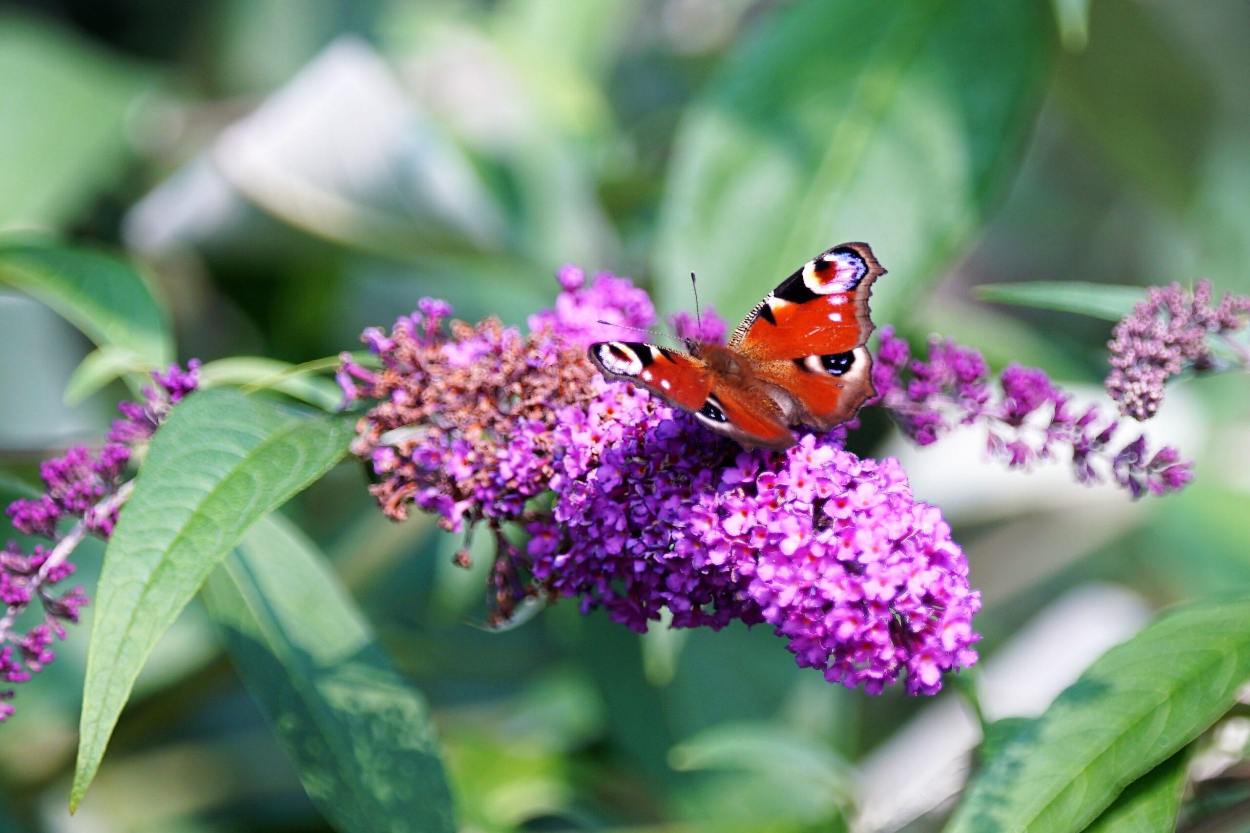 Vlinders, libelles en juffers