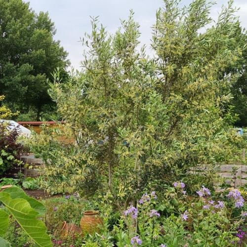 bloeiende olijfboom
