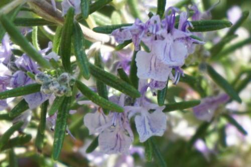 rozemarijn in bloei